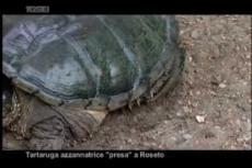 "Embedded thumbnail for Catturata la pericolosa ""tartaruga azzannatrice"""