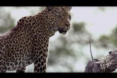 """Embedded thumbnail for """"Mamma-leopardo"""" salva il cucciolo e la cena dalle iene"""