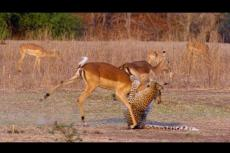 "Embedded thumbnail for L'impala ""miracolato"""