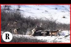Embedded thumbnail for I lupi non fan più paura: il cavallo si rotola nella neve in mezzo a un branco di lupi