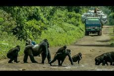 Embedded thumbnail for I gorilla bloccano la strada