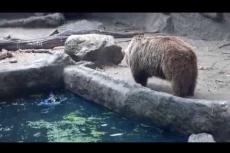 Embedded thumbnail for L'orso salva il corvo che affogava