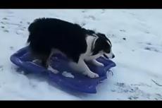 Embedded thumbnail for Questo cane è uno slittatore provetto