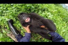 Embedded thumbnail for Il gorilla che soffre il solletico