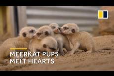 Embedded thumbnail for Allo zoo di Sidney nascono cinque suricati